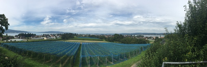 Reichenau vineyards
